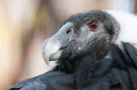Everything You Wanted to Know About the Andean Condor
