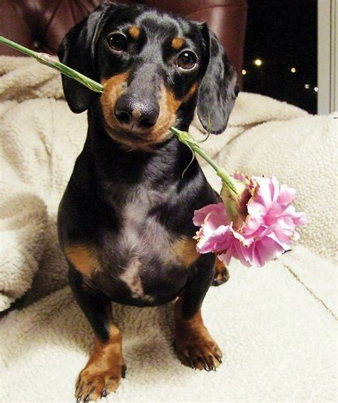 14 Signs You Are A Crazy Dachshund Person