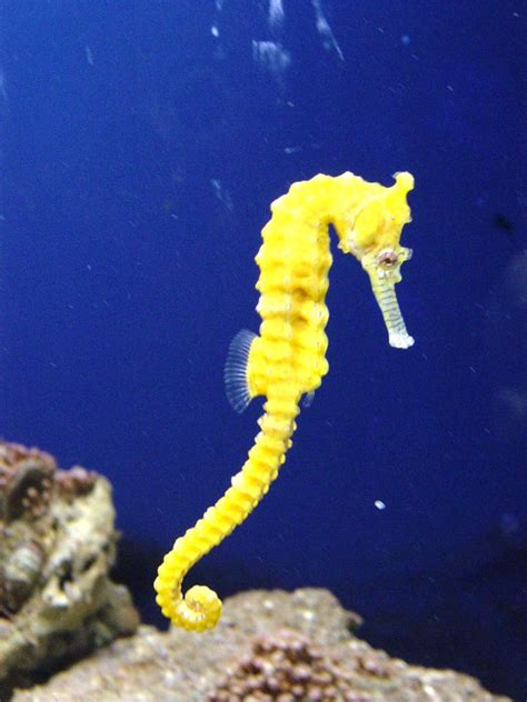 SEAHORSE PICTURES, PICS, IMAGES AND PHOTOS FOR YOUR TATTOO