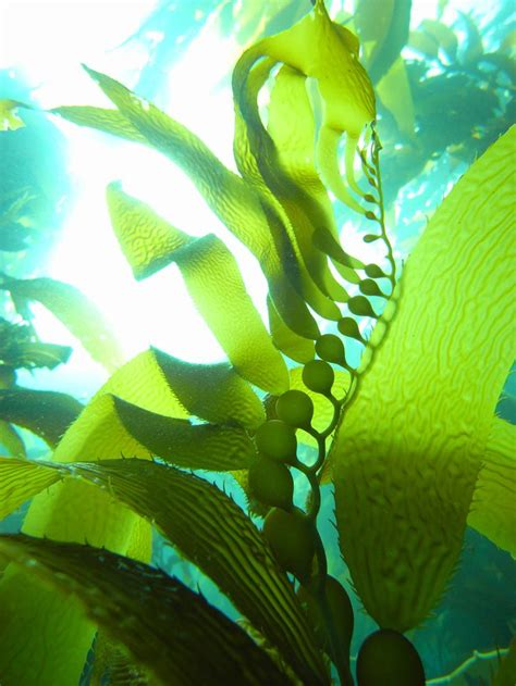 Kelp Holds Fast and Holds Up - National Geographic Society